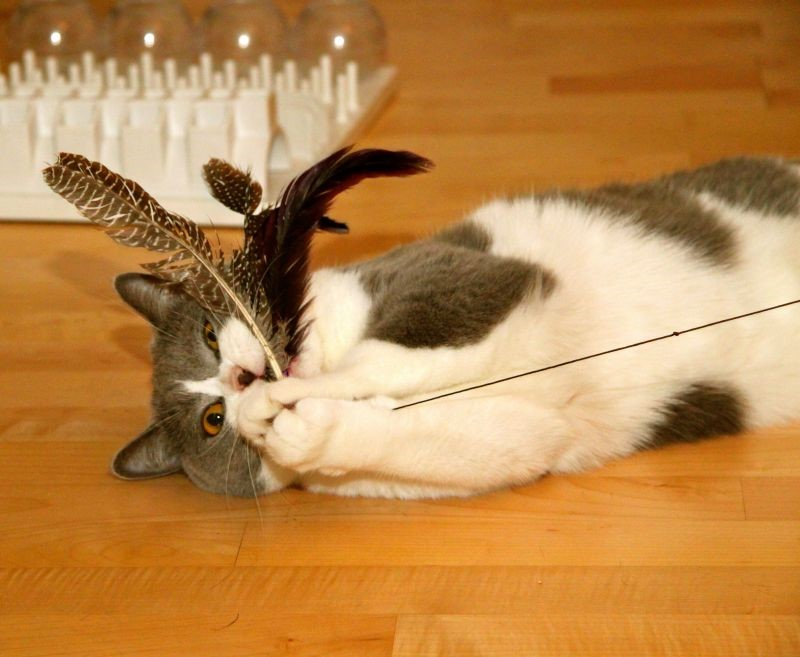 Cannetta gatti