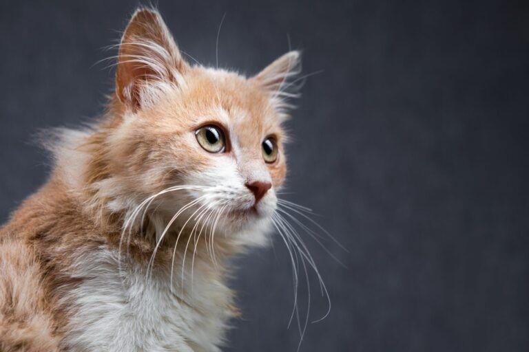sensi del gatto