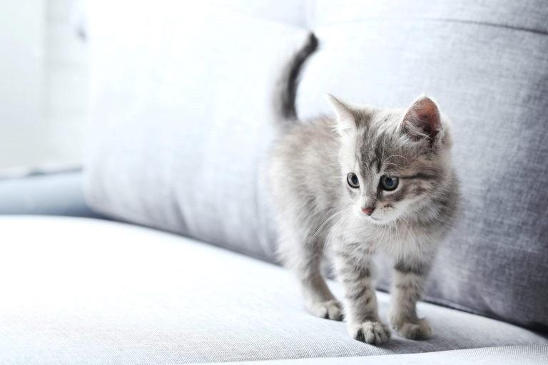 il sesso del gattino