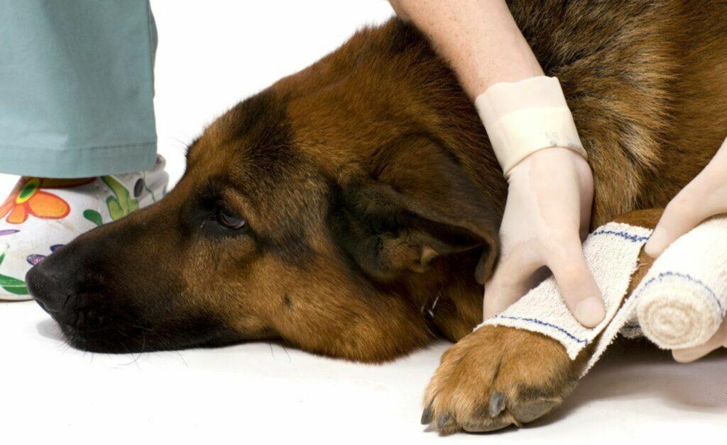 bendare le ferite alle zampe del cane