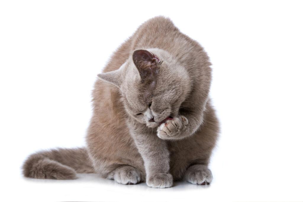 Gatto che si lava le zampe