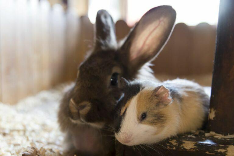 Porcellino d'India o coniglio