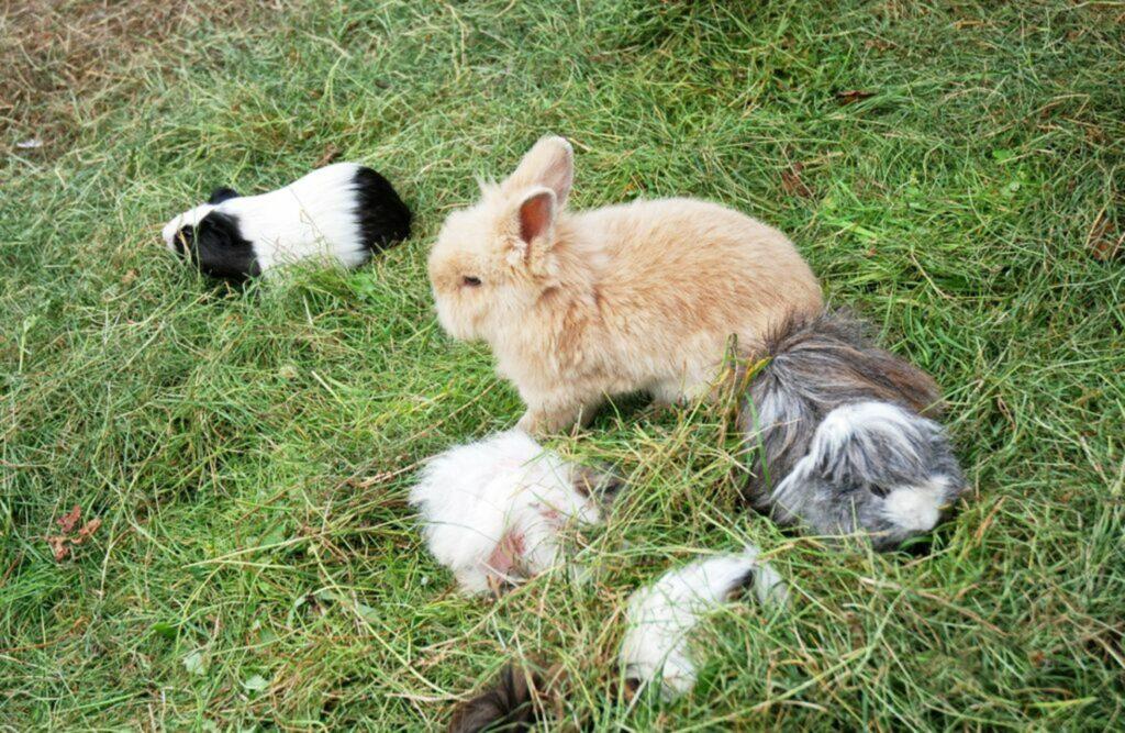 coniglio e porcellino d'india