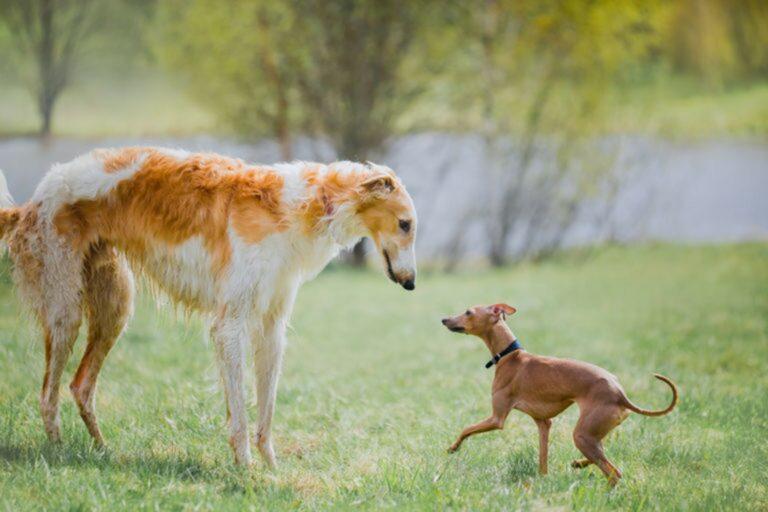 Cane grande o piccolo
