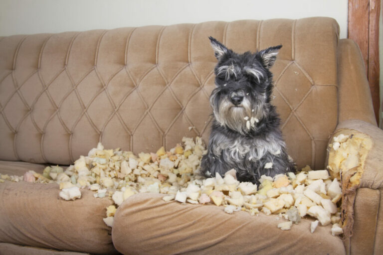 Cane in pubertà su divano distrutto