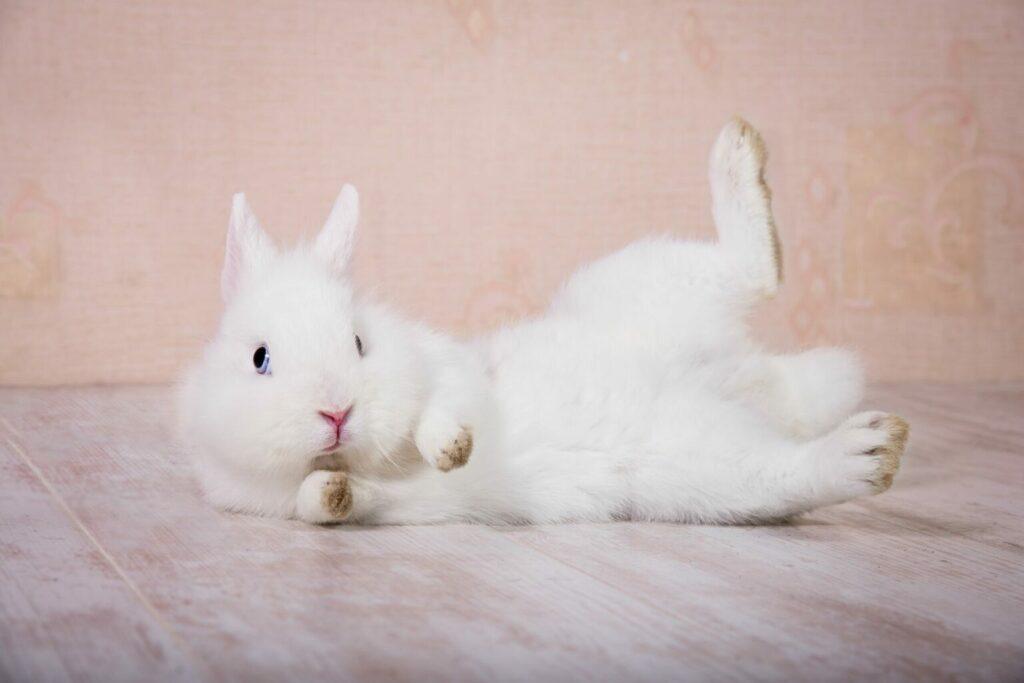 Coniglio bianco maschio o femmina