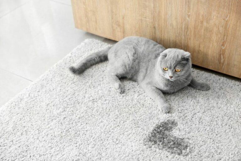 eliminare odore e pipì del gatto