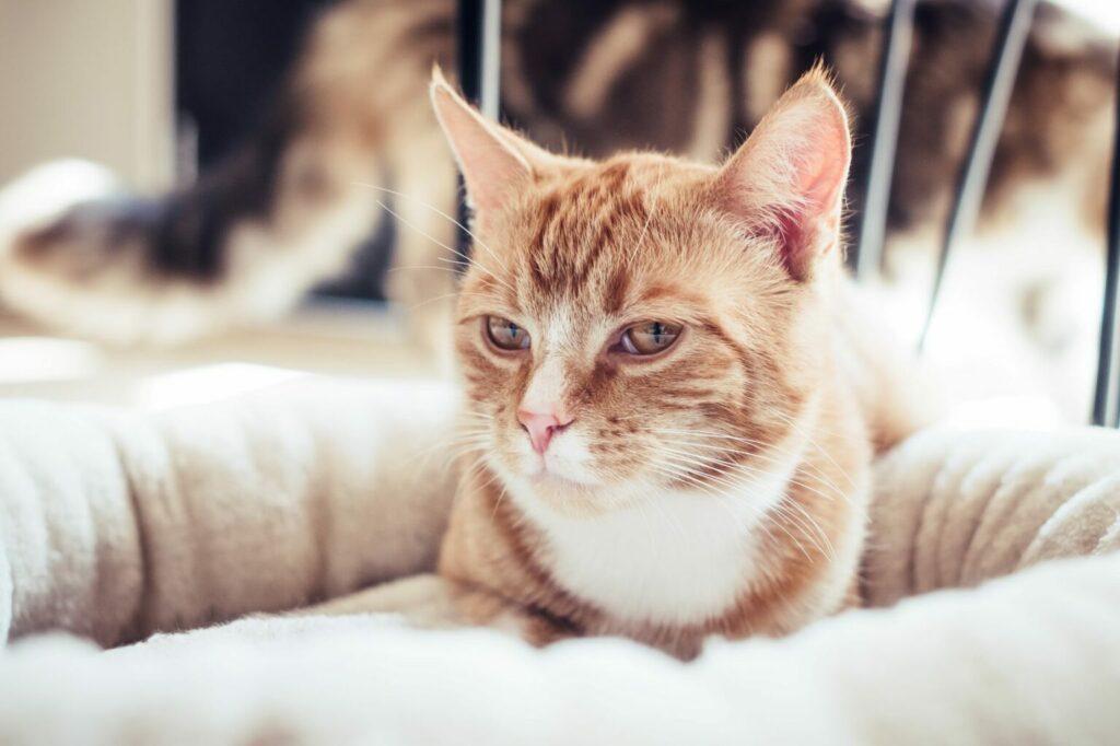 gatto su un cuscino