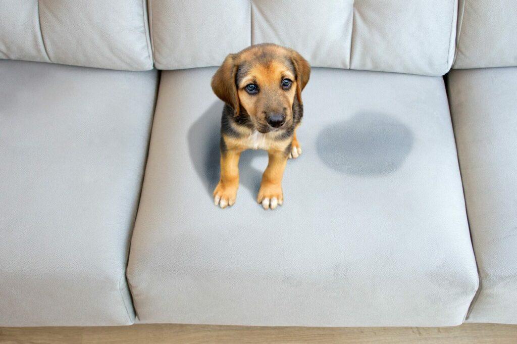 macchie pipi cane divano