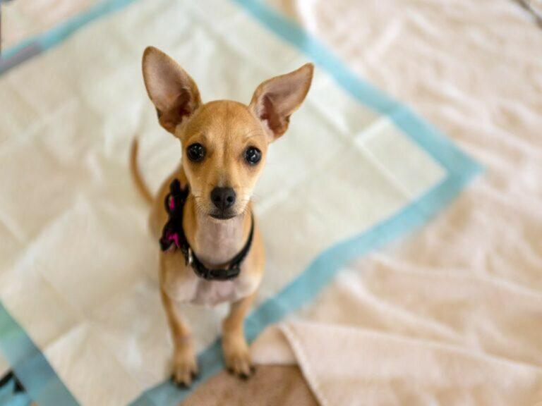 Incontinenza nel cane