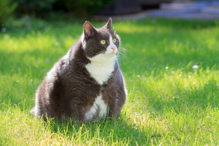 Gatto in sovrappeso