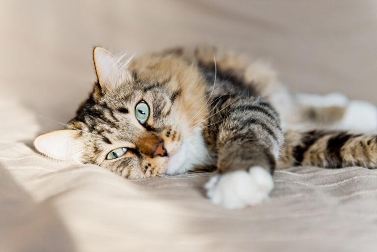 pancreatite nel gatto