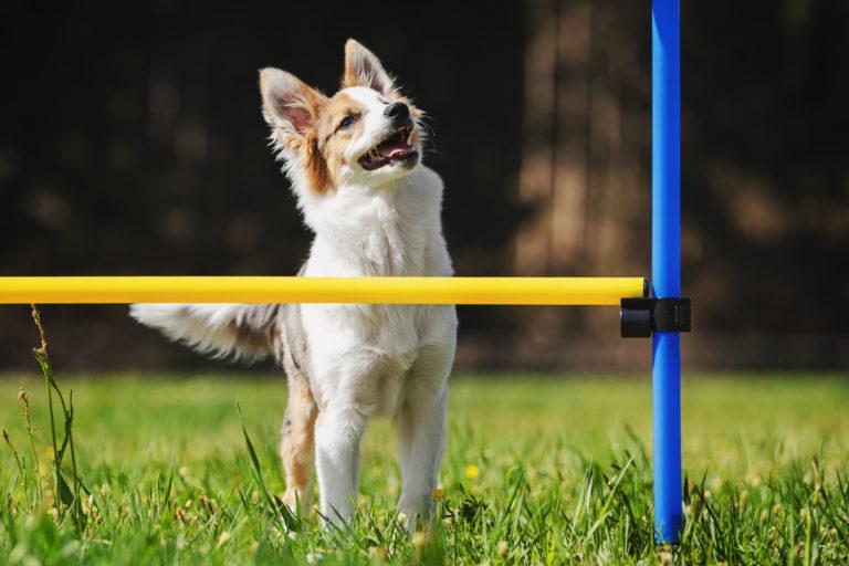 agility per cani piccoli