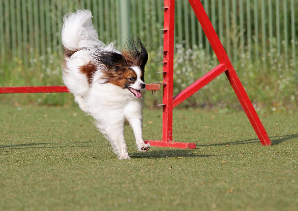 percorso ad ostacoli di agility