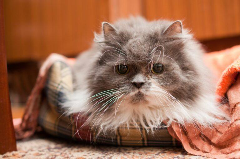 alzheimer nei gatti