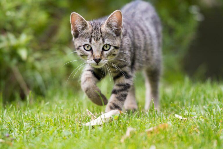 gatto domestico fuori casa